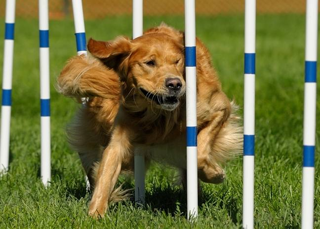 Golden Retriever Club of America National Championships
